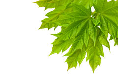 Fresh green maple leaves isolated on white Stock Image
