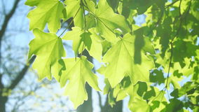 Fresh green maple leaves over blurred foliage in springtime. stock video