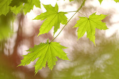 Fresh green maple leaves in spring Stock Photo