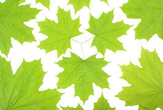 Fresh green maple leaves on a white background Royalty Free Stock Images