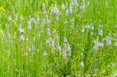 Fresh green meadow. With little white flowers Stock Photos