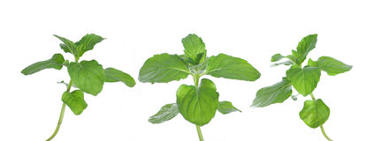 Fresh green mint. Isolated on white Stock Photo