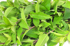Fresh green mint Stock Photos