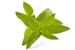 Fresh green mint Stock Photo