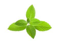 Fresh Green Mint Royalty Free Stock Photography
