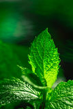 Fresh green mint close-up on a dark background Royalty Free Stock Photo