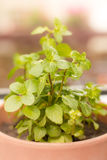 Fresh green mint Stock Photography