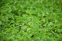 Mint. Fresh green mint in home backyard Stock Image