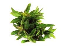 Fresh green mint Stock Photography
