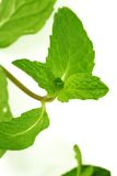 Fresh green mint leaves. On white background Stock Photo