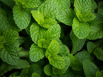 Fresh green mint leaves Stock Image