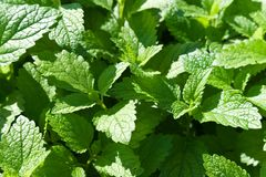 Fresh green mint leaves - herbst in the garden. Herbal plant royalty free stock photo