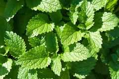Fresh green mint leaves - herbst in the garden. Herbal plant royalty free stock images