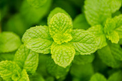 Fresh green mint leaves Royalty Free Stock Images