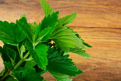 Fresh Green Mint, Lemon Balm Royalty Free Stock Images