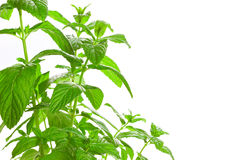 Fresh green Mint (Mentha) isolated. Stock Photography