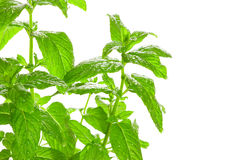 Fresh green mint (mentha) with water droplets Royalty Free Stock Photos