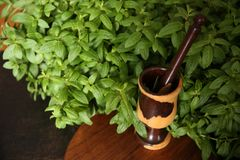 Fresh green mint organic leaves in the bush with mortar and pestle stock image