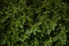 Fresh green mint organic leaves in the bush stock image