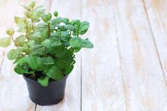 Fresh green mint plant in a tin pot on a wooden table royalty free stock image