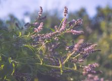 Blooming wild mint. Purple wildflowers and green fresh leaves Stock Photos