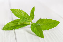 Fresh green mint Stock Image