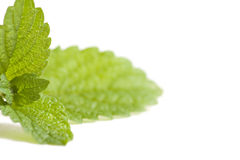 Fresh green minte Royalty Free Stock Photography