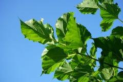 Fresh green Morus alba tree Stock Photography