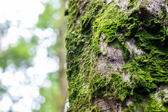 Fresh green moss on the bark of a tree Royalty Free Stock Image