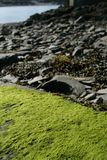 Fresh green moss and bladderwrack seaweed stock images