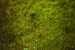 Fresh green moss growing close up background Royalty Free Stock Photos
