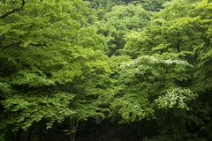 Fresh green native forest. Fresh green broad leaf trees native forest in early summer Royalty Free Stock Photography