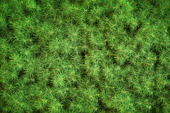 Fresh green needles background Stock Photography