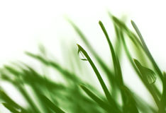 Fresh green needles Royalty Free Stock Photo