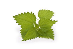 Fresh and green nettle Stock Photos