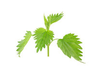 Fresh green nettle Royalty Free Stock Photography