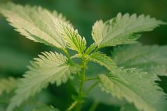 Fresh and green nettle as a background of natural herbal plant Royalty Free Stock Photo