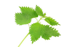 Fresh and green nettle isolated Stock Images