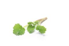 Fresh and green nettle isolated Royalty Free Stock Photography