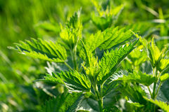 Fresh green nettle Stock Photography