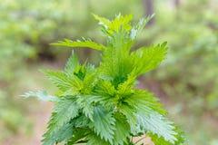 Fresh green nettles. On blurred background stock photography
