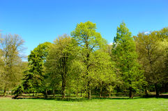 Fresh green new spring foliage on trees. In a scenic landscape in a park under a clear sunny blue sky Stock Photos