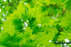 Fresh green oak leaves Stock Image