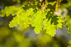 Fresh green oak leaves on a blurred background Royalty Free Stock Photos