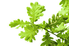 Fresh green oak leaves isolated on white Royalty Free Stock Photography