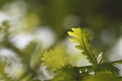 Fresh green oak leaves. In the spring sunshine Stock Photos