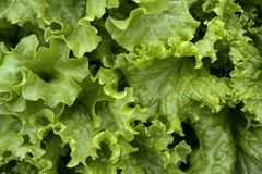 Fresh green oak lettuce with water drops in oraganic farm. Green vegetables Stock Photos