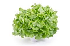 Fresh green oak  salad leaves : clipping path included Stock Photography