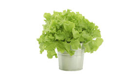 Fresh green oak salad pot. Fresh green oak salad in aluminium pot Royalty Free Stock Photo