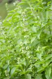 Green Ocimum basilicum plant in nature garden Royalty Free Stock Images